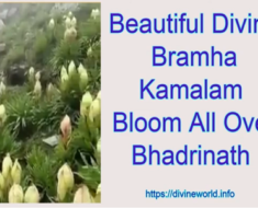 Beautiful Divine Bramha Kamalam Bloom All Over Bhadrinath